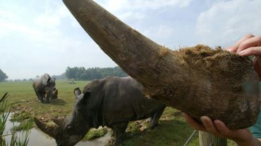 Une corne de rhinocéros exhibée ici au parc zoologique de Cerza, le 4 juillet 2006 à Hermival-les-Vaux.