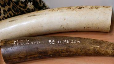 """De l'ivoire collectée en Belgique, lors de l'opération """"Sors tes dents"""""""