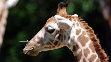 La Girafe sera désormais mieux protégée: la CITES accouche de sa liste d'espèces sauvages à protéger