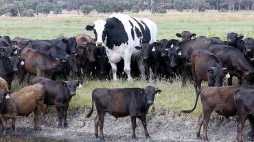 Knickers va vivre le reste de sa vie, qui peut aller jusqu'à 20 ans pour les vaches, près du lac Preston, avec le reste du troupeau.