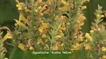 Zoom sur l'Agastache 'Kudos Yellow'  avec Francis Peeters