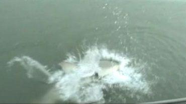Un requin-taureau vole la prise d'un pêcheur remontant sa ligne