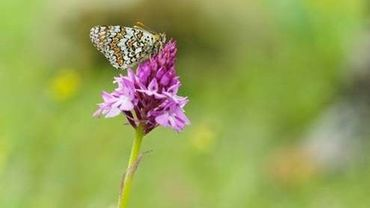 Abeilles, Syrphes et Papillons : Sauvons nos pollinisateurs