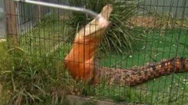Snappy a pris une jolie couleur orange.