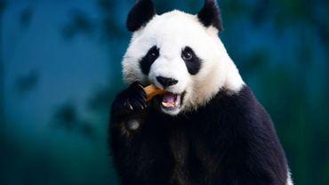 Cette photo d'archive prise le 20 décembre 2017 montre un panda en train de manger, dans le Jardin zoologique de la forêt de Shenyang, en Chine.