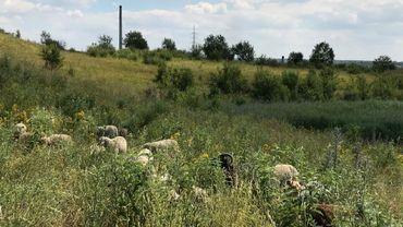 A quelques encablûres de Charleroi et d'un site industriel, des moutons broutent sur le terril