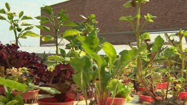 L'aquaponie en développement, agriculture alternative où les plantes baignent dans l'eau