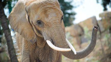 Chez les éléphants, les mises bas peuvent durer plusieurs jours, voire des semaines.