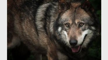 Photo prise le 15 octobre 2005 dans le Parc de Courzieu, dans le Rhône, d'un loup évoluant en captivité.
