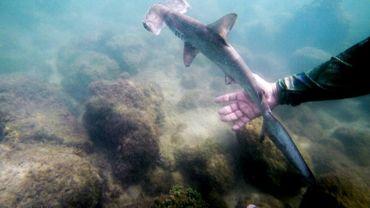 Un bébé requin marteau nage dans une pouponnière naturelle à Puerto Ayora, dans les Galapagos, le 21 janvier 2018