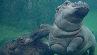 Fiona, star de la toile et hippo sous l'eau