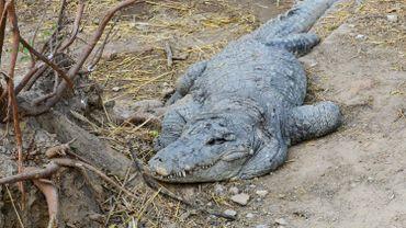 Le reptile s'était échappé d'une réserve naturelle voisine après des inondations