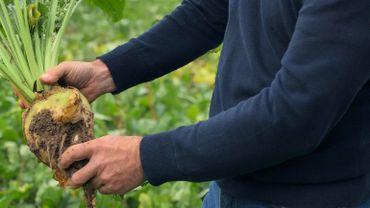 Johan pense à arrêter la culture de betteraves face à la baisse des prix du sucre