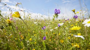 Le leurre écologique des prairies fleuries