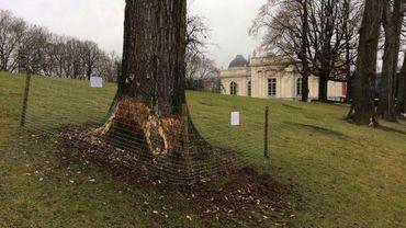 Les castors s'attaquent aux arbres et peuvent leur causer de sérieux dégâts