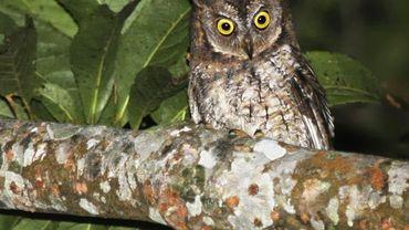 Le nouveau hibou observé sur l'île de Lombok