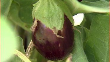 Des aubergines au jardin