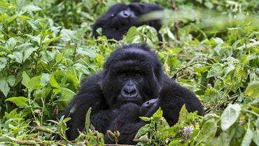 Grâce aux efforts de conservation et aux patrouilles anti-braconnage, il y a plus de 1.000 gorilles de montagne.