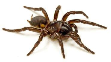 Le venin d'araignée pourrait protéger le cerveau après un accident vasculaire cérébral (AVC
