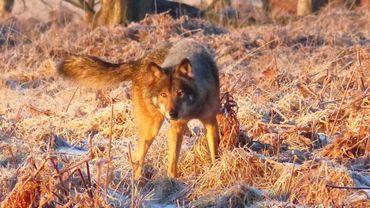 Le loup n'a pas remarqué la présence du photographe