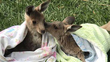 Des couturières namuroises au chevet des kangourous et koalas
