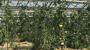 Bruxelles: collection de tomates aux serres de Woluwe