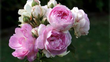 Un jardin  de roses issues de 28 pays différents