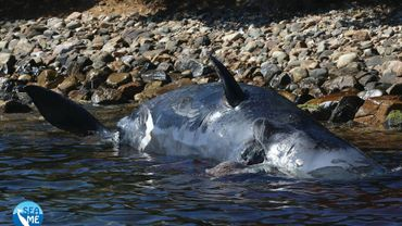Un fœtus mort et 22 kg de plastique retrouvés dans une baleine échouée en Italie