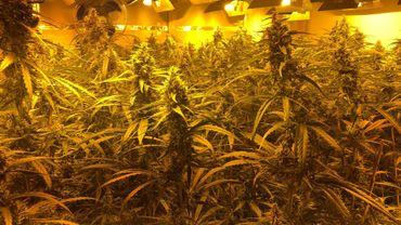 Saisie de 16 plantations de cannabis par la police de Bruxelles Nord: 14 interpellations