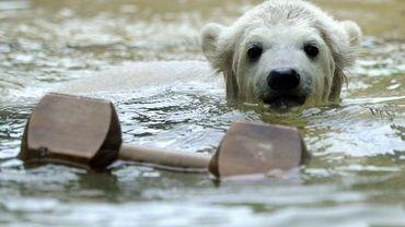 Un ourson blanc
