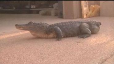 Mr Stubs, un alligator de 9 ans qui devrait être le 1er au monde à bénéficier d'une prothèse