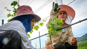 Dans la province reculée de Nakhon Ratchasima, à trois heures au Nord-Est de Bangkok, le vignoble de GranMonte a été planté en 1999 sur 16 hectares de sols argileux et calcaire par leur père, ancien pilote de course.