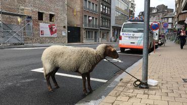 Un mouton attaché à un poteau de signalisation sur l'avenue Golenvaux à Namur