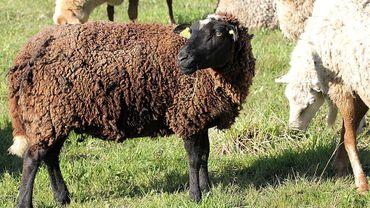 Un financement participatif pour acheter des moutons Natagora