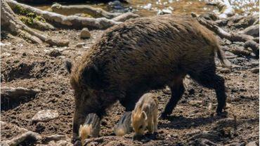 155 sangliers contrôlés positifs, c'est le bilan actuel  de la peste porcine africaine dans le sud de la province.