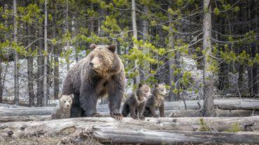 Le grizzly de Yellowstone protégé par une cour d'appel des Etats-Unis