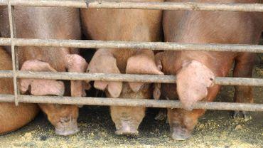 Les éleveurs belges souffrent de l'embargo russe sur le porc