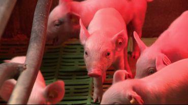 Le prix du porc connaît une forte diminution et c'est tout un secteur qui pousse un cri d'alarme