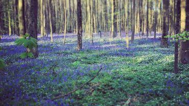 Le conte de fée du Hallerbos et son tapis de fleurs bleues