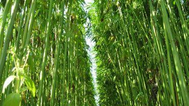 Cette année, les agriculteurs wallons ont cultivé 400 hectares de chanvre.