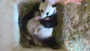 Capture d'écran fournie le 16 août 2016 par le zoo de Schönbrunn à Vienne qui montre le 15 août la maman panda Yang Yang étreignant ses jumeaux nouveaux-nés.
