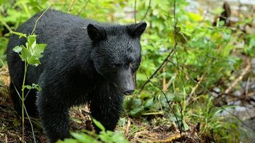 Un ours noir (Ursus americanus)