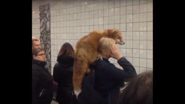 Russie: une femme balade son renard dans le métro de Moscou, vers une domestication? (vidéo)
