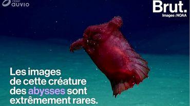 """""""Le poulet sans tête"""": une étrange créature abyssale filmée en Antarctique"""