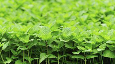 Les vertus de l'huile essentielle de menthe poivrée