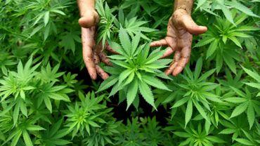 La police a découvert cinq plantations de cannabis.