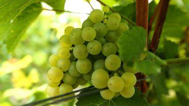 Les vendanges du vignoble champenois font partie des plus précoces depuis 1950