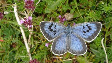 Photo sur un dépliant d'un papillon Grand Bleu (Maculinea arion)