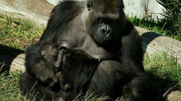 Une femelle gorille nommée Jessica et son bébé, alors âgé de deux semaines, dans leur enclos du zoo de San Diego, dans le sud de la Californie, le 13 janvier 2015