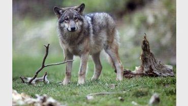 Photo d'un loup prise le 17 octobre 2006 à Saint-Martin-Vésubie